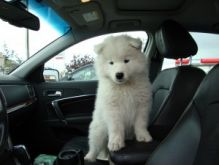 Adorable Samoyed puppies male and female available for new owners
