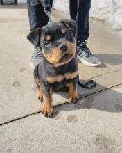 Gorgeous Ckc Rottweiler Puppies For You