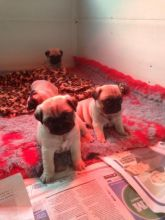 male and female pug puppies contact us at oj557391@gmail.com